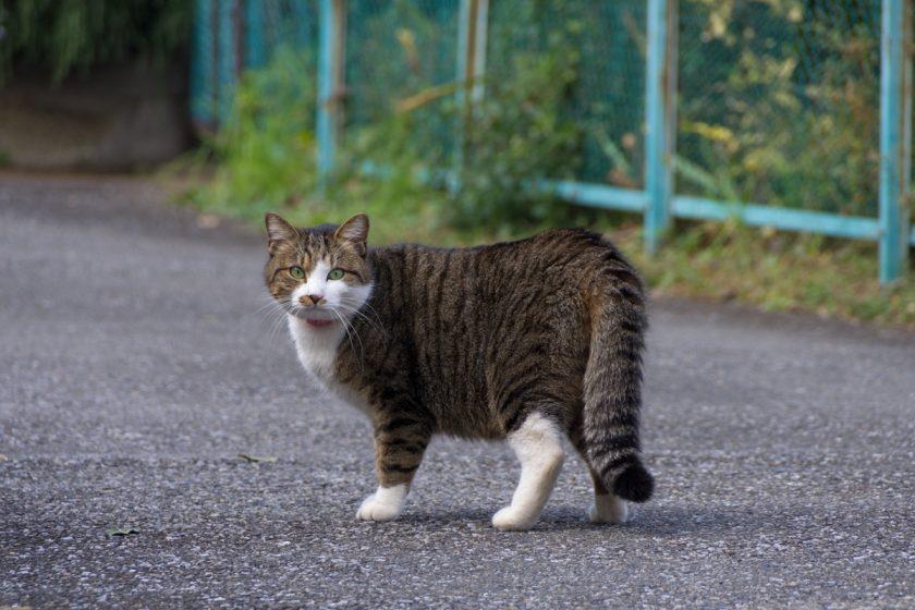 清瀬市の猫