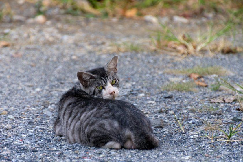 寄居町の猫