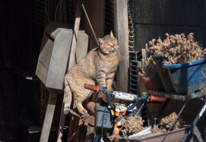 東久留米市の猫