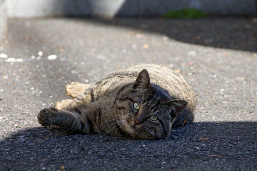 川越市の猫
