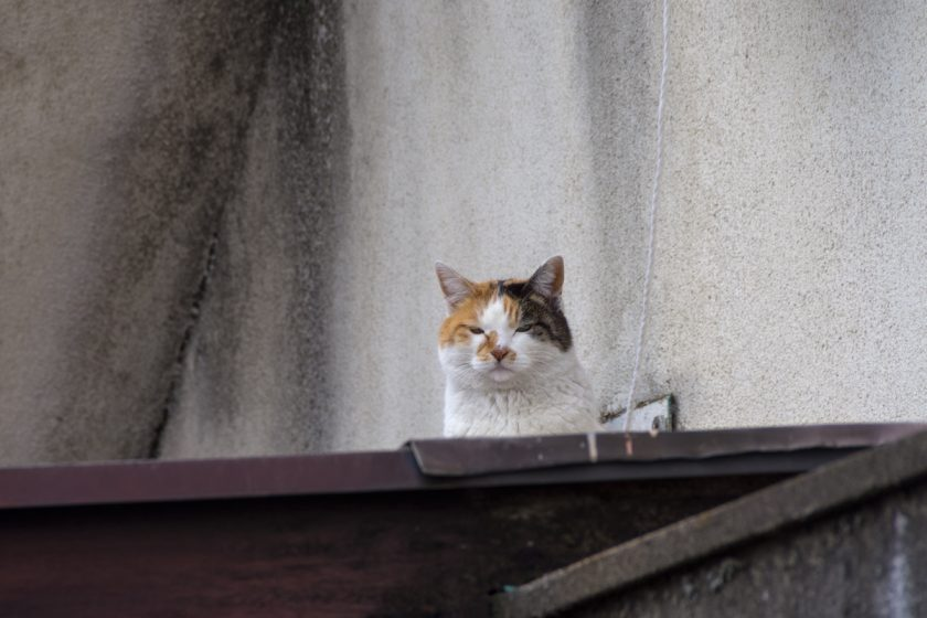 新座市の猫