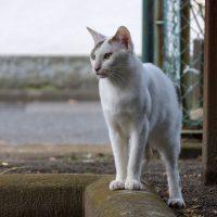 小平市の猫