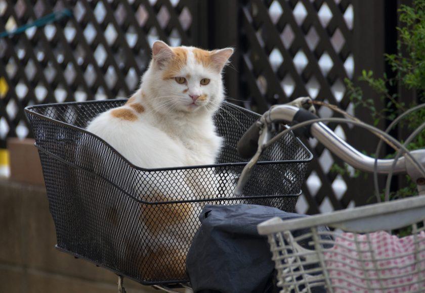朝霞市の猫