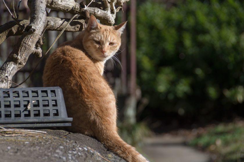 檜原村の猫