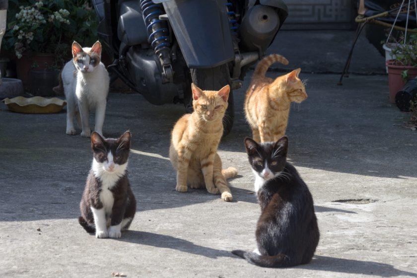 桃園市の猫