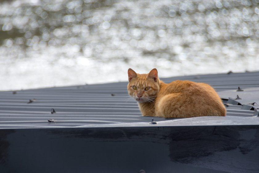 新北市の猫