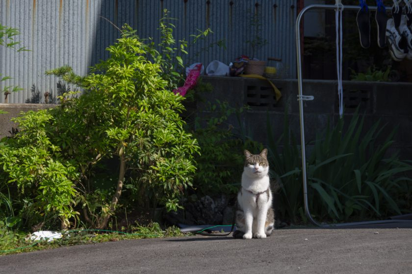 富士河口湖町の猫