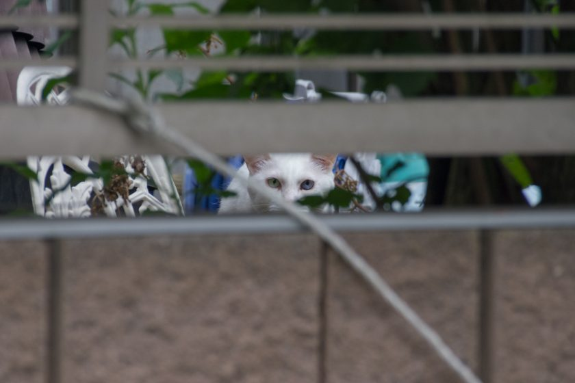 長瀞町の猫