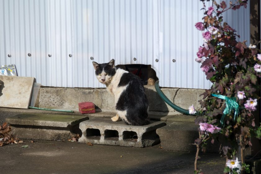 坂戸市の猫