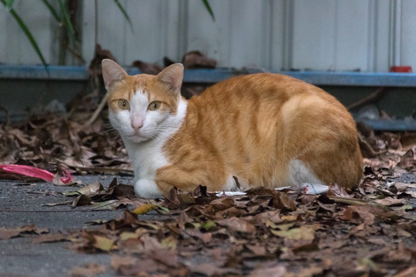 花蓮市の猫