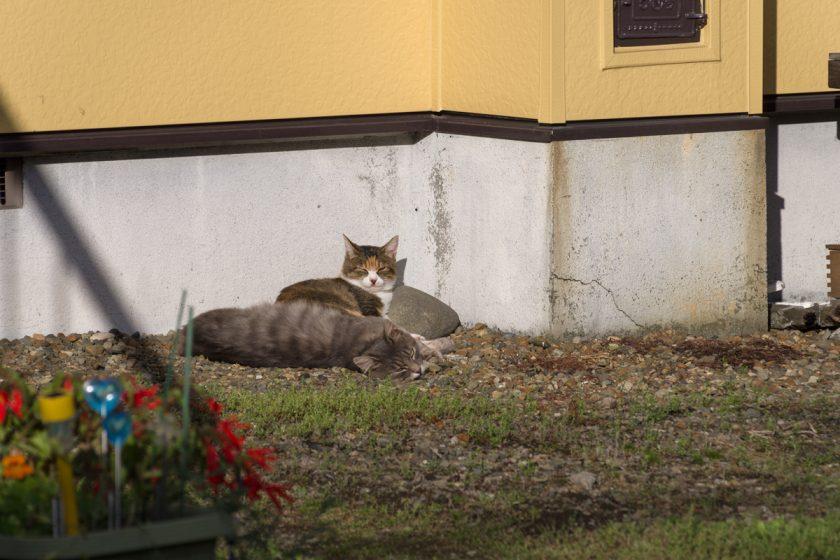 千歳市の猫