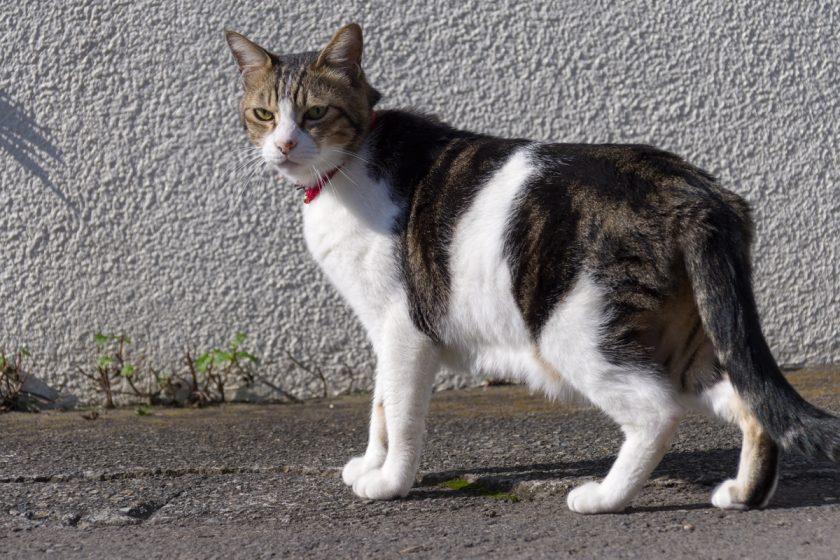 日野市の猫