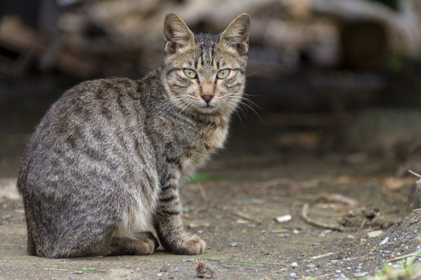 琉球郷の猫