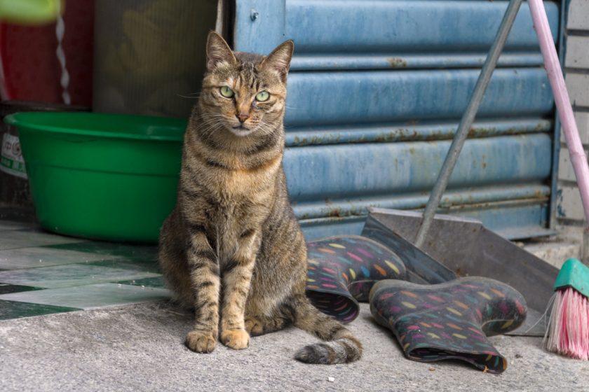 崁頂郷の猫