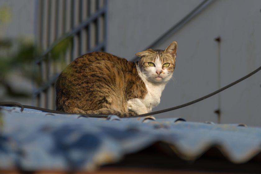 虎尾鎮の猫