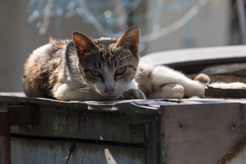 西螺鎮の猫