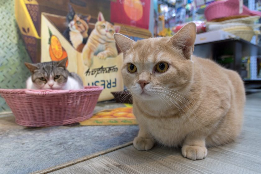 油尖旺區の猫