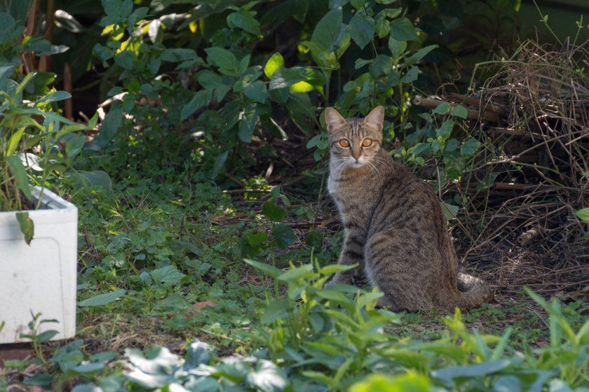 後龍鎮の猫