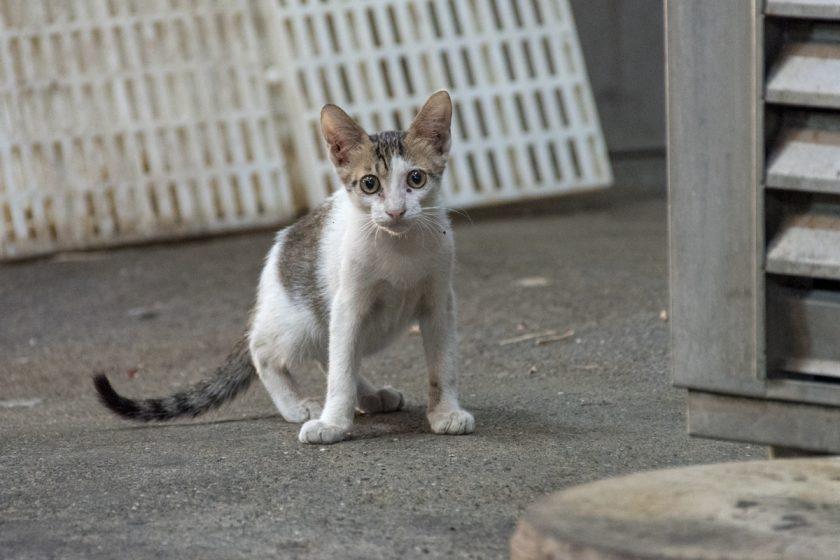 鹿港鎮の猫