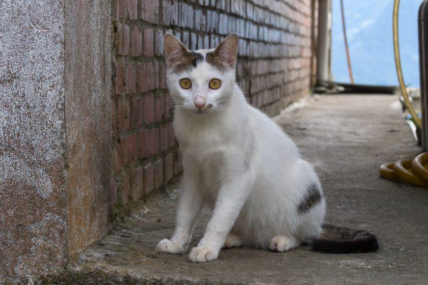 阿里山郷の猫