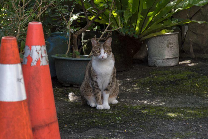 礁溪郷の猫