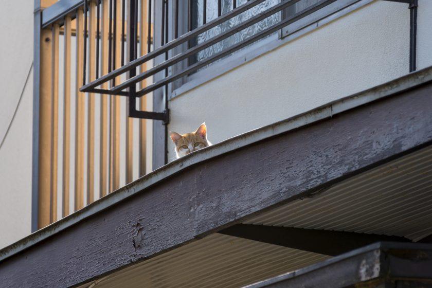 八王子の猫