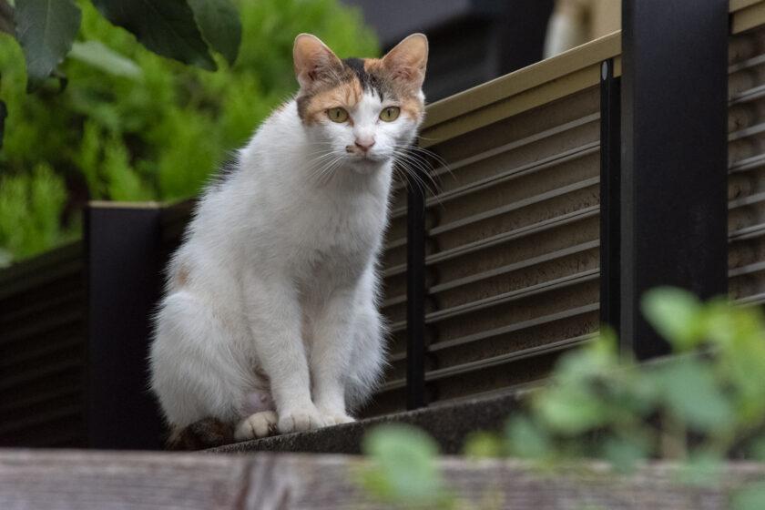 三鷹市の猫
