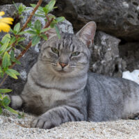 竹富町の猫