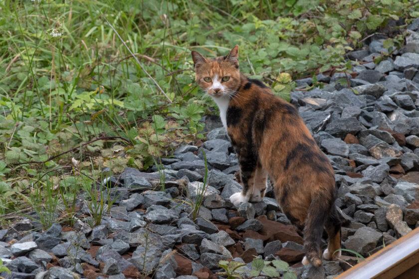 八戸市の猫