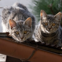 白河市の猫